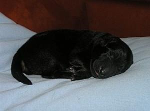 6. Welpe: Rüde