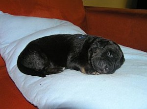 4. Welpe: Rüde