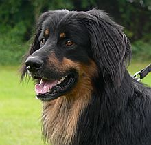 Draco, Canis ex Canis Lupus